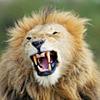 lionhrt